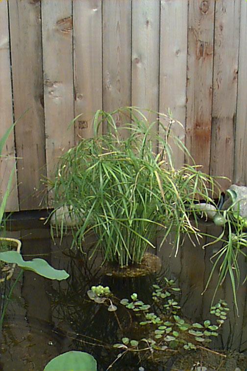 Pond plants for Winter pond plants