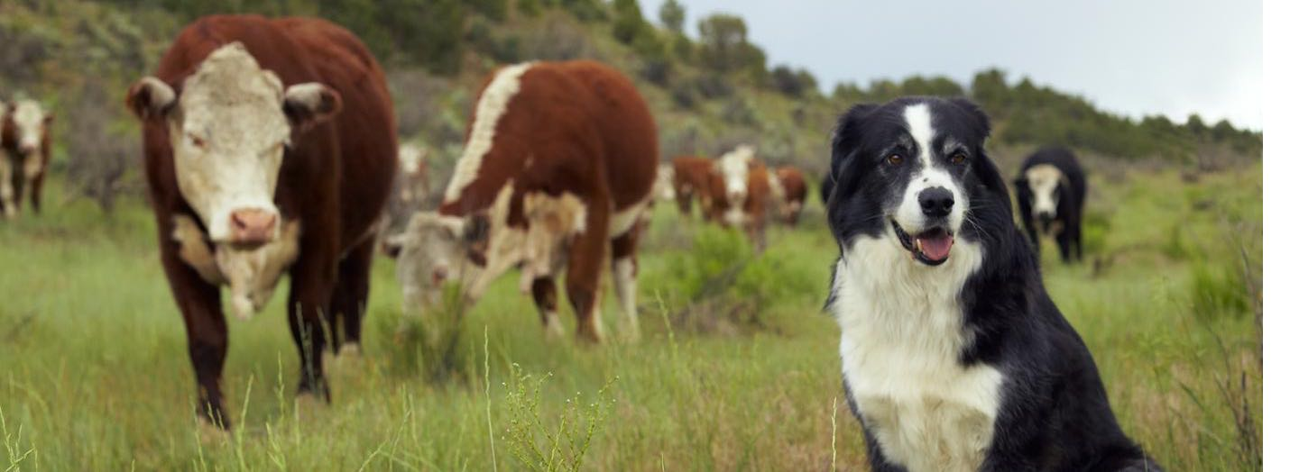 puppy hanging out with some cows!